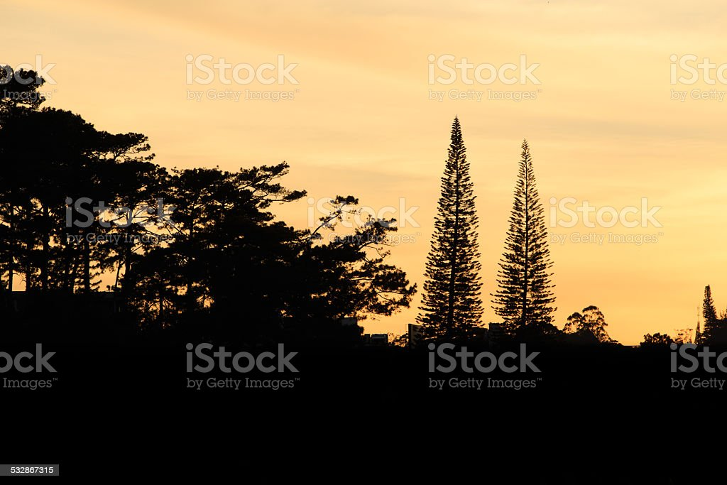 Pinus tree leaf under sunset background. royalty-free stock photo