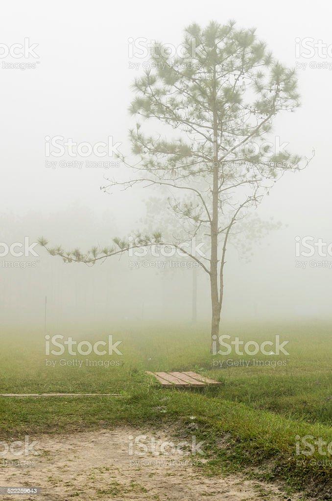 Pinus tree on Phu Kradueng National Park stock photo