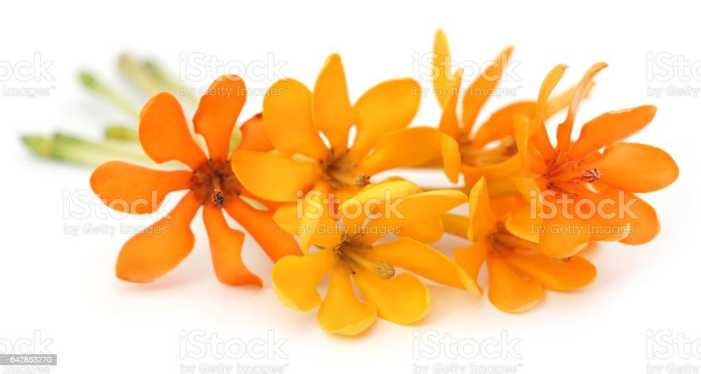 Pinwheel Gardenia stock photo