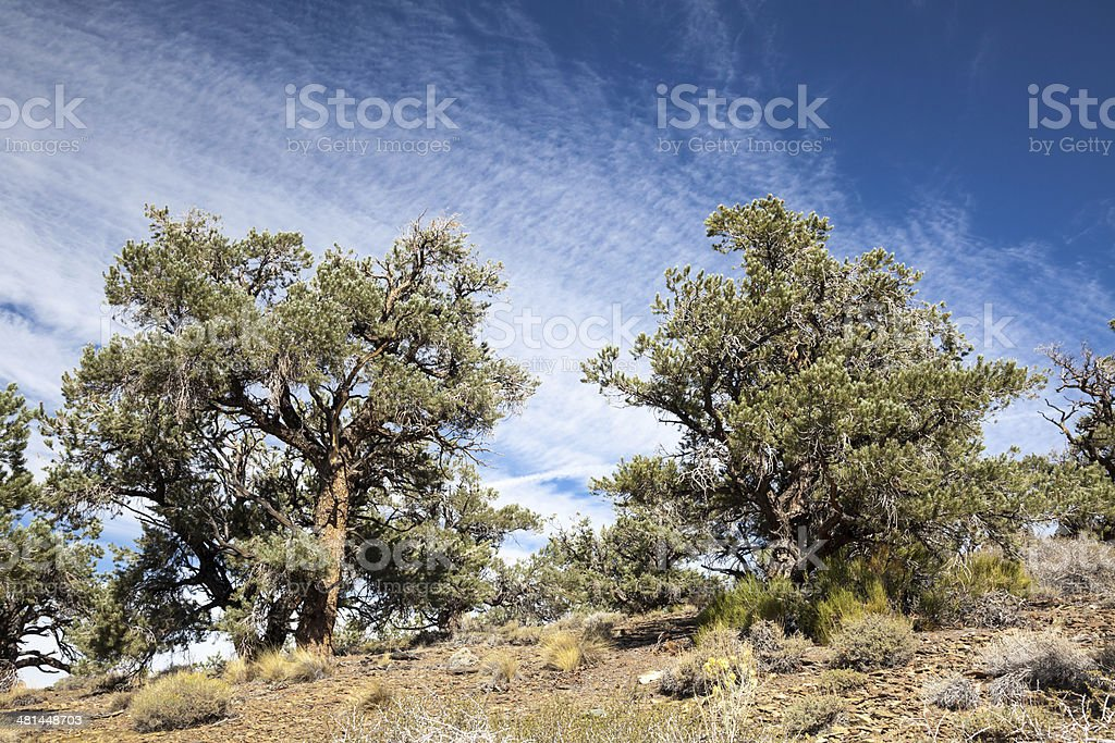 Pinyon and Juniper Forest stock photo