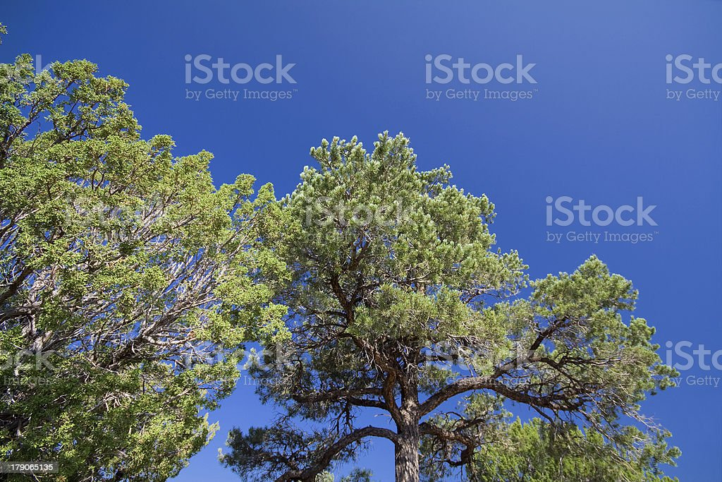 Pinyon and Juniper Trees Against Blue Sky, New Mexico, USA stock photo