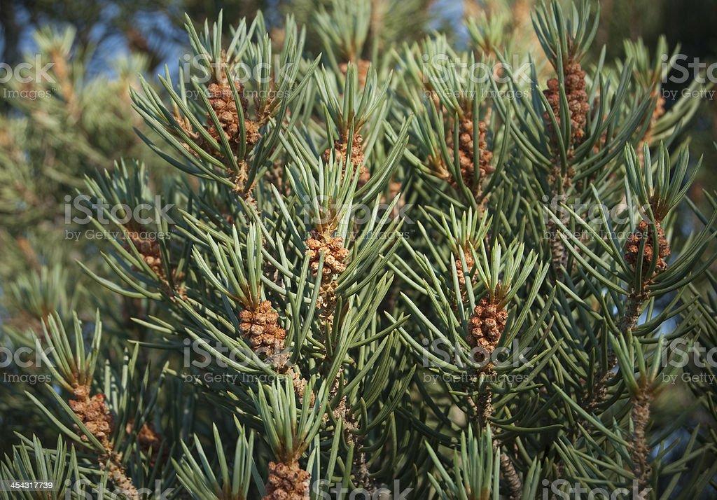 Pinyon Pine stock photo