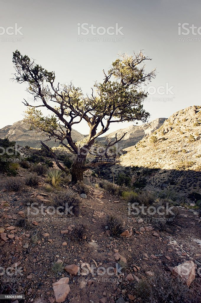 pinyon pine, red rock stock photo