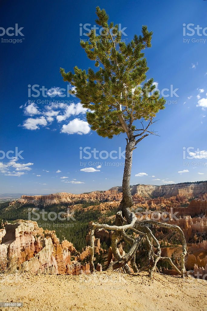 Pinyon Pine Tree, Bryce Canyon stock photo