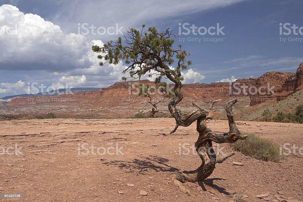 Pinyon Pine Tree stock photo