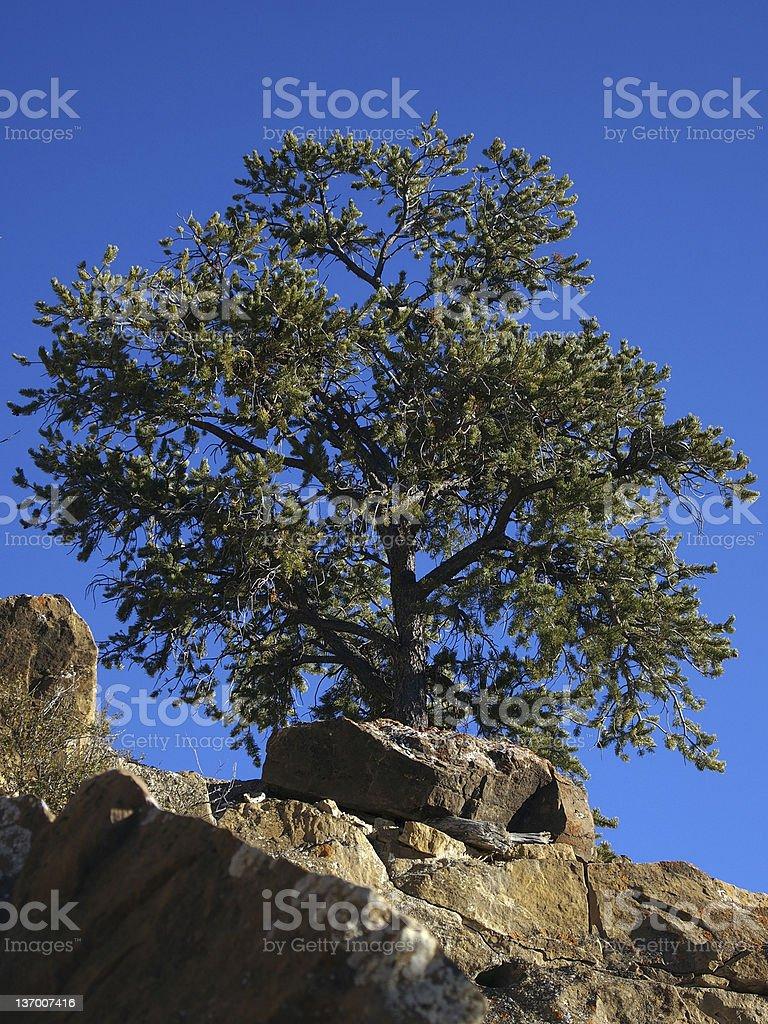 Pinyon Tree stock photo