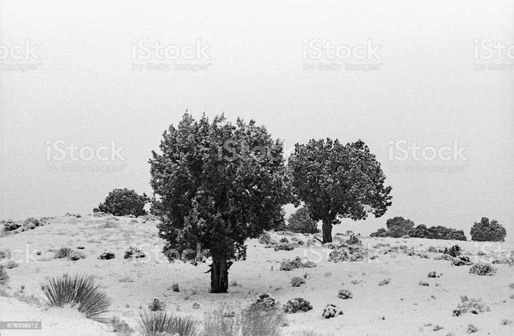 Pinyon Trees stock photo