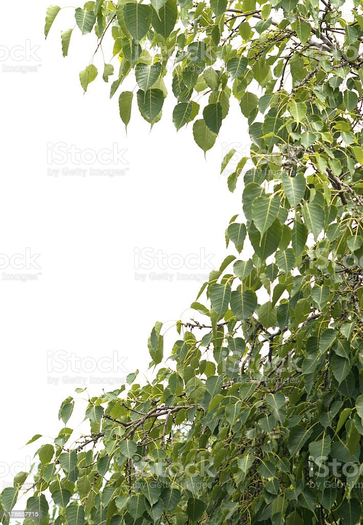 Pipal leaves stock photo