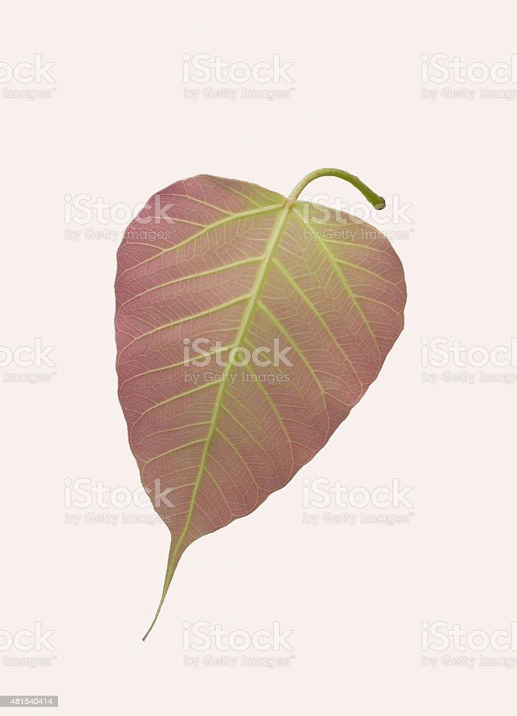 Pipal Tree, Bohhi Tree, Bo Tree, Pe stock photo