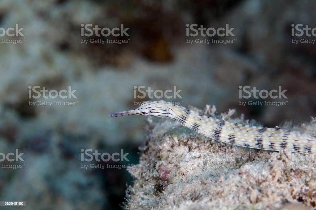 Pipe fish close-up. Sipadan island. Celebes sea. Malaysia. stock photo