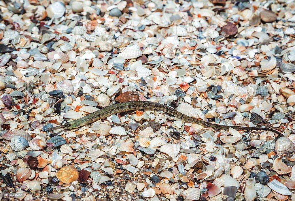 pipefish washed astrand stock photo
