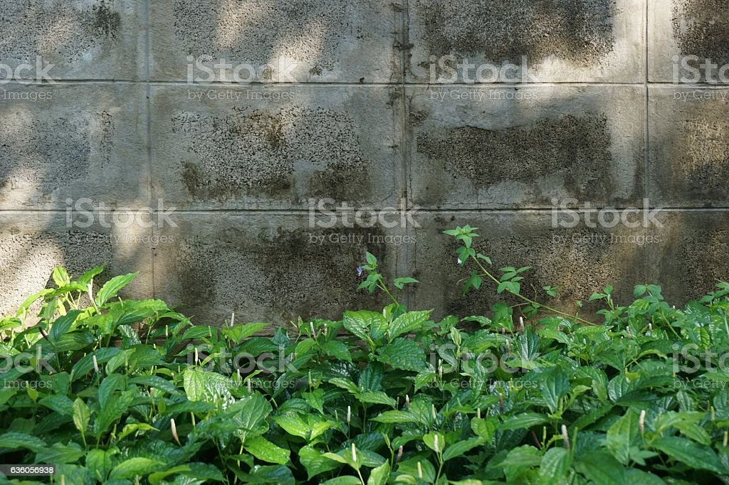 Piper sarmentosum Roxb stock photo