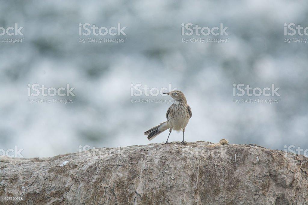 pipet bird stock photo