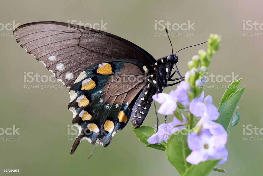 Pipevine Swallowtail Butterfly - Battus philenor stock photo