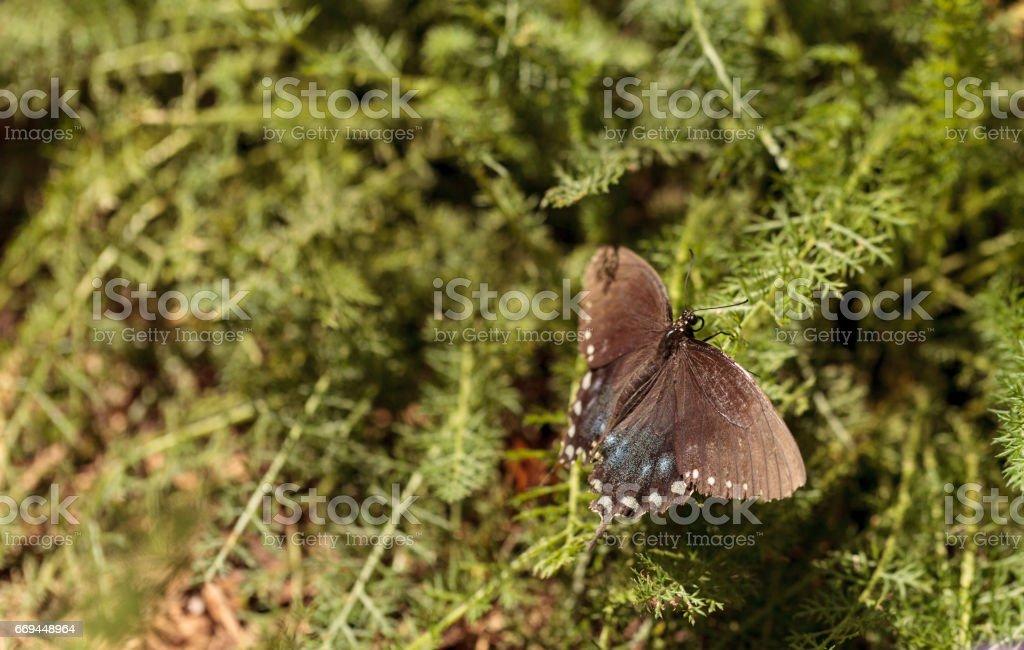 Pipevine swallowtail butterfly, Battus philenor stock photo