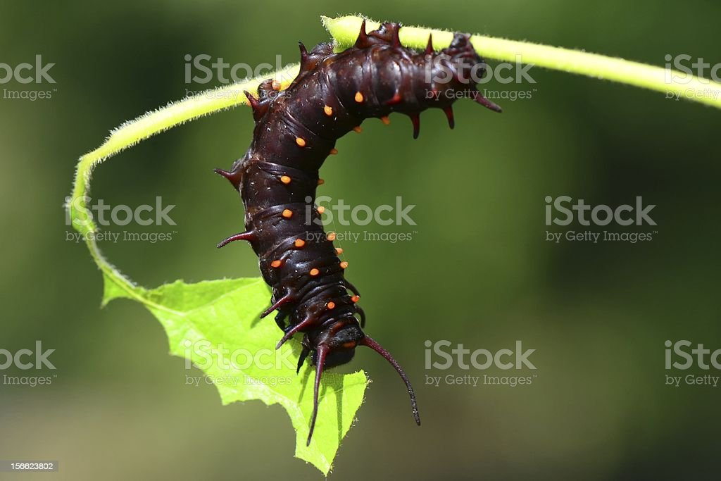 Pipevine swallowtail butterfly caterpillar royalty-free stock photo