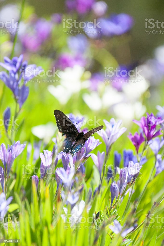 Pipevine Swallowtail Butterfly on Lavender and Purple Flowers stock photo
