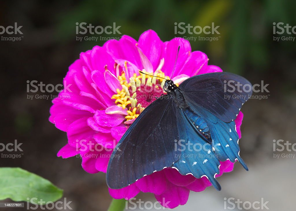 Pipevine Swallowtail Butterfly stock photo