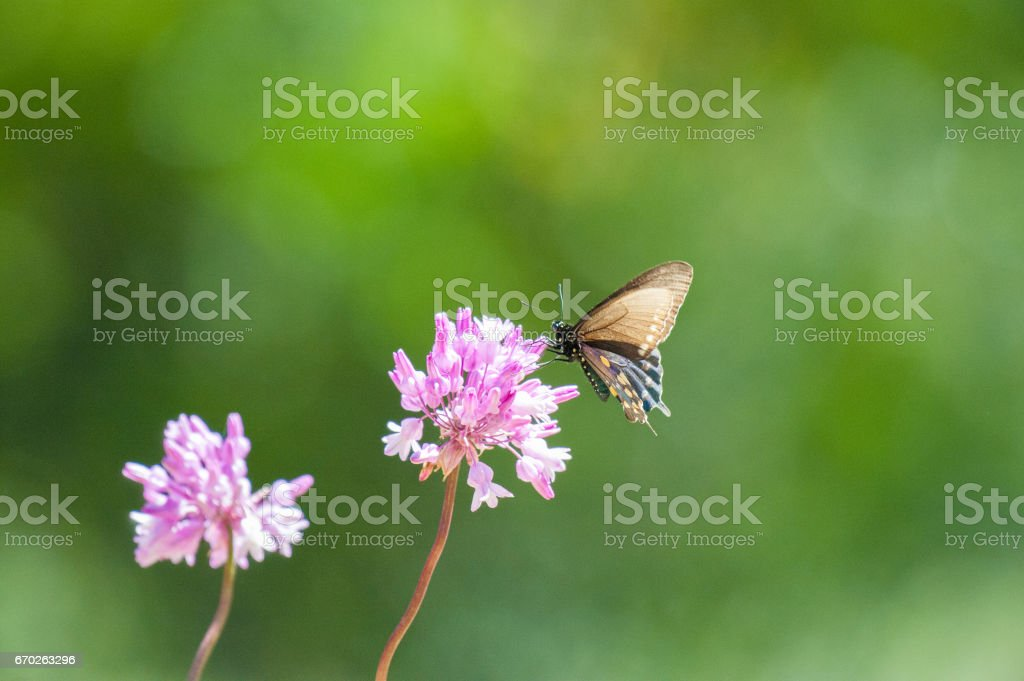 Pipevine Swallowtail Butterly Feeding from Lavender Flowers stock photo