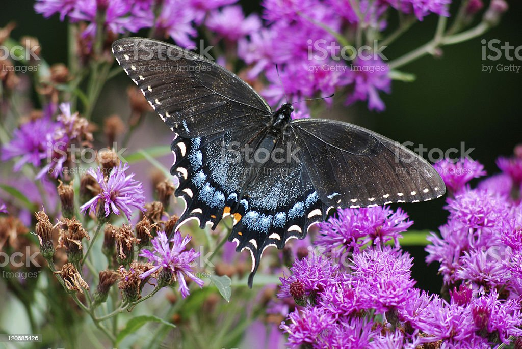 Pipevine Swallowtail on Purple Flowers stock photo