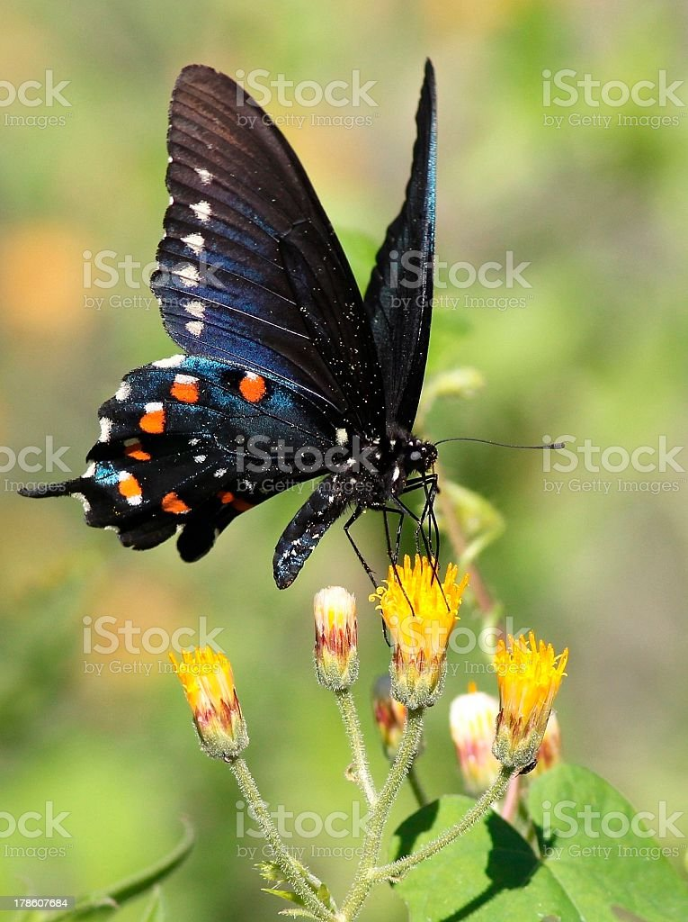 Pipevine Swallowtail on Yellow Flower stock photo