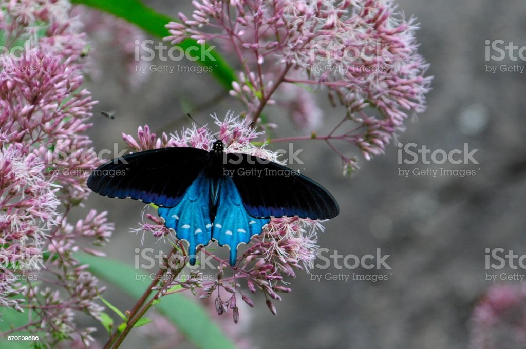 Pipevine Swallowtail stock photo