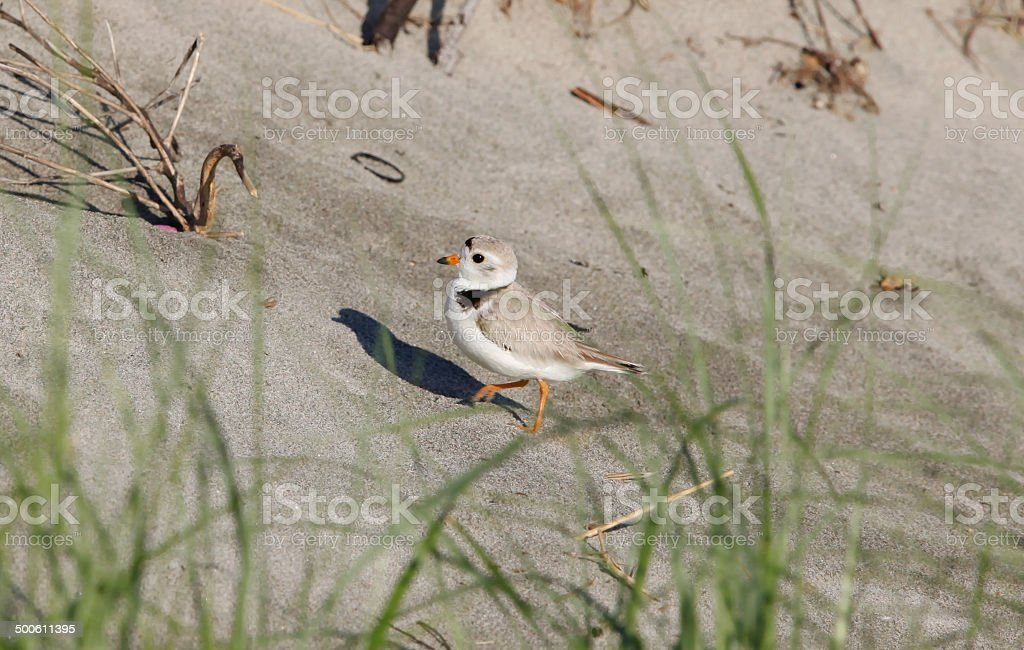 piping plover Charadrius melodus behind beach grass stock photo
