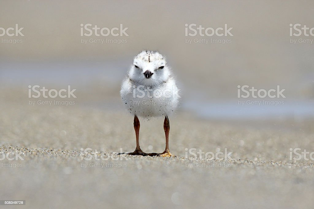 Piping Plover Chick on the Beach stock photo