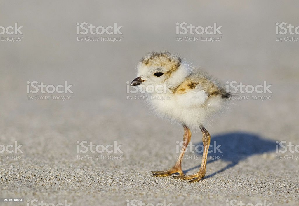 Piping Plover Chick stock photo