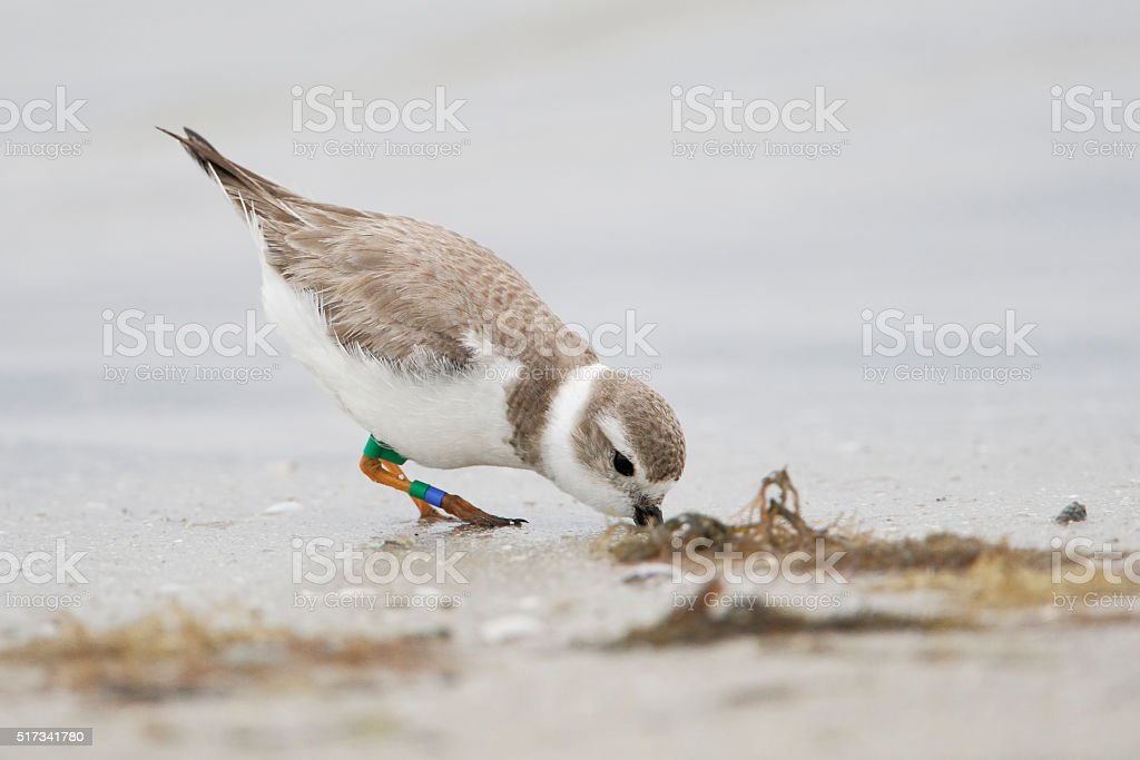 Piping Plover (Charadrius melodus) Fort De Soto Park, Florida, USA stock photo