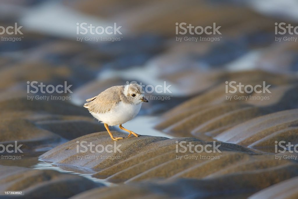 Piping Plover on Beach Sand stock photo