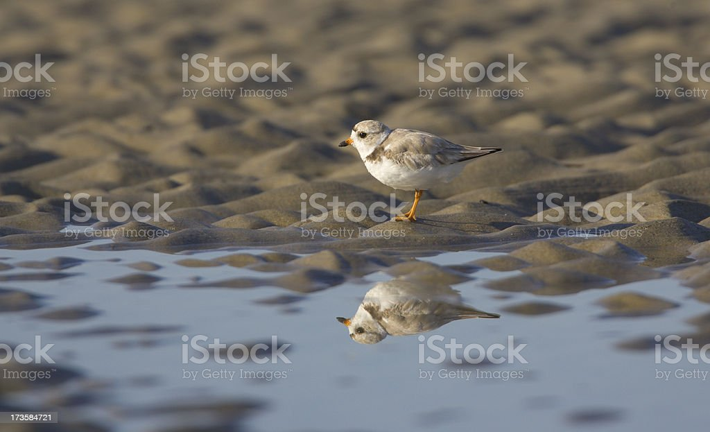Piping Plover on Beach with Reflection stock photo