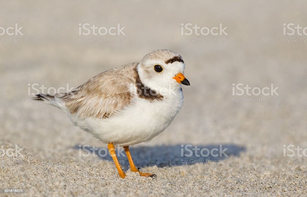 Piping Plover royalty-free stock photo