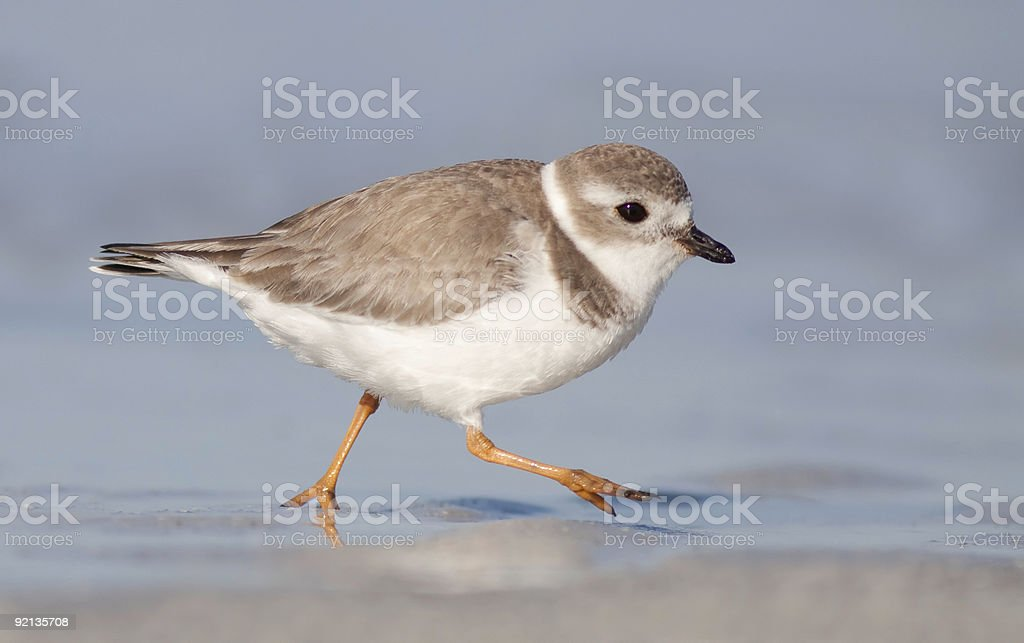Piping Plover running along the beach stock photo