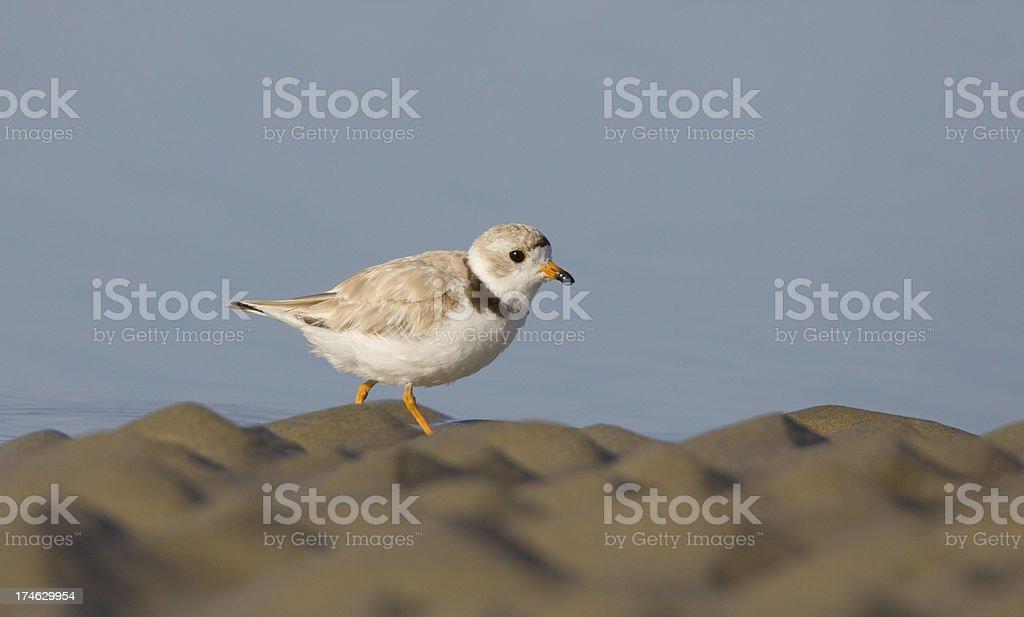 Piping Plover shore bird on sandy beach stock photo