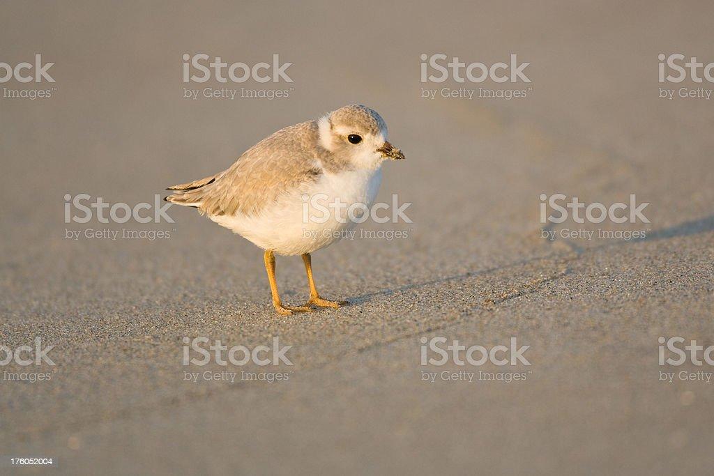 Piping Plover Shorebird stock photo