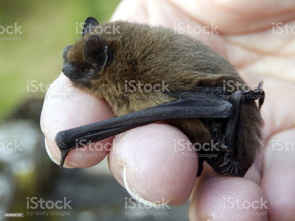 Pipistrelle Bat stock photo