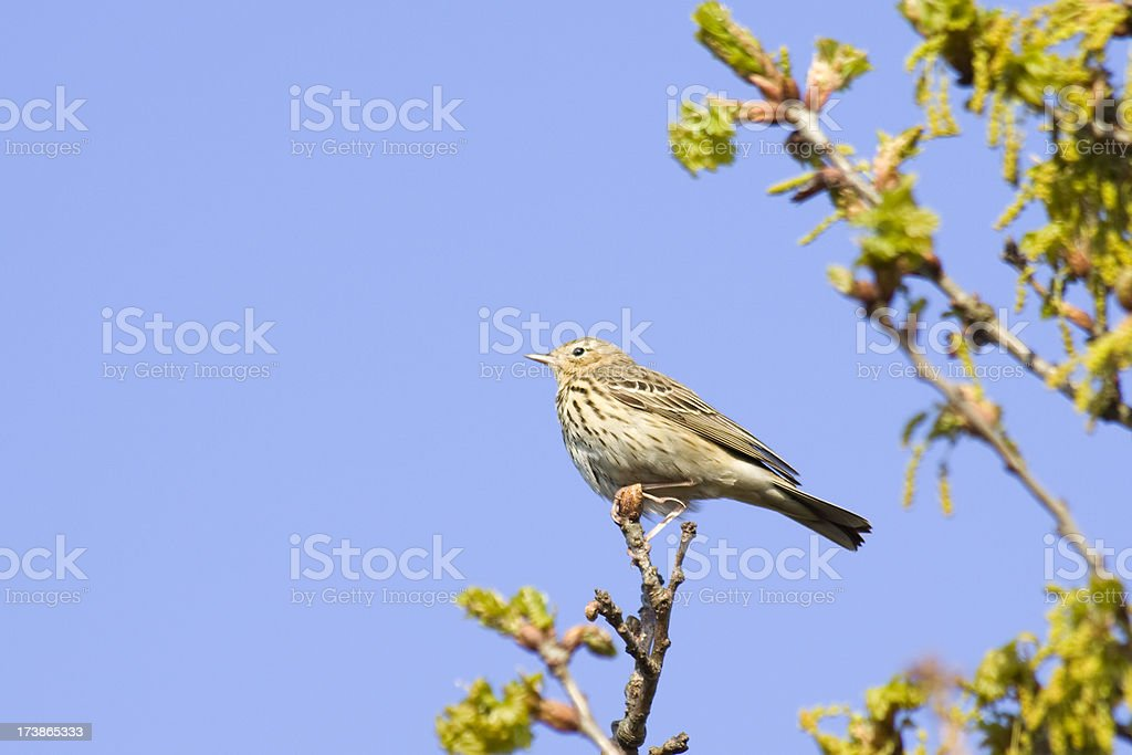 pipit stock photo