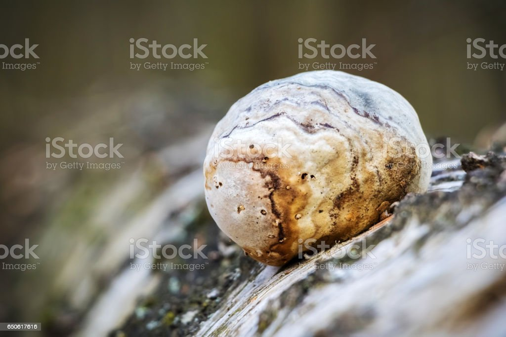 Piptoporus betulinus - woodsfailing, edible, healthful mushroom stock photo
