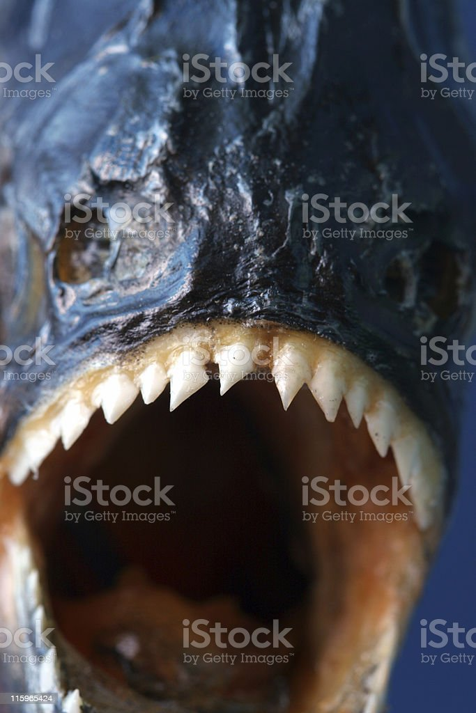Piranha Closeup stock photo