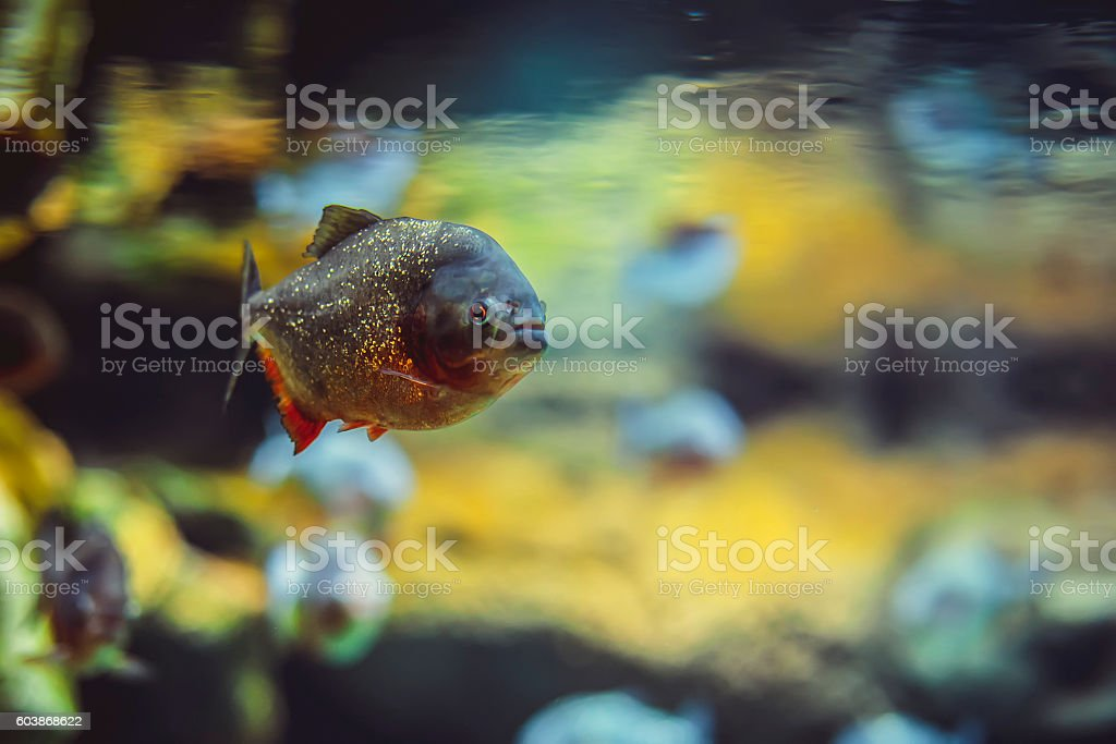 Piranha fish in the water stock photo