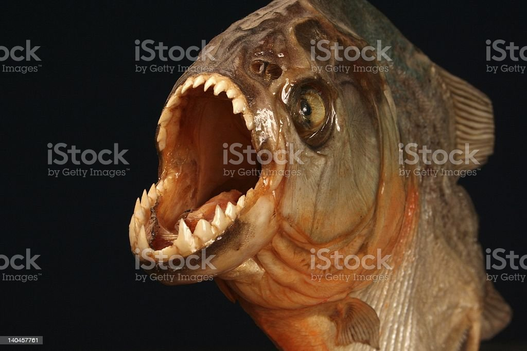 Piranha fish on black background stock photo