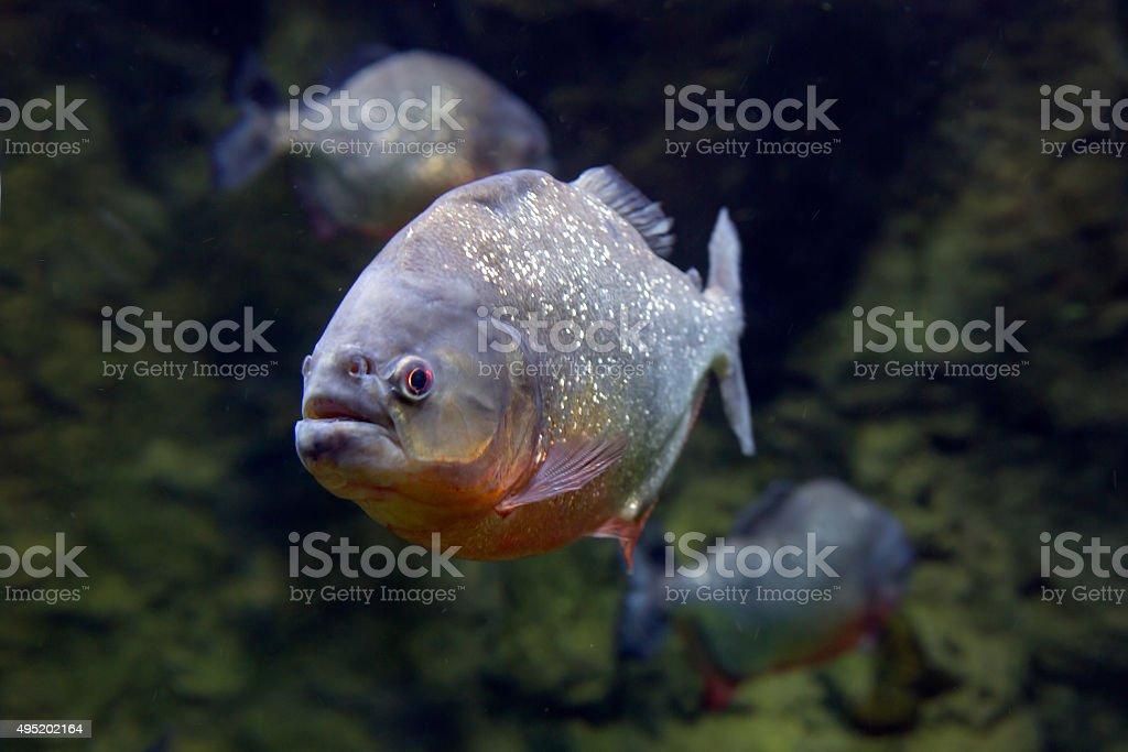 Piranha Fish . stock photo