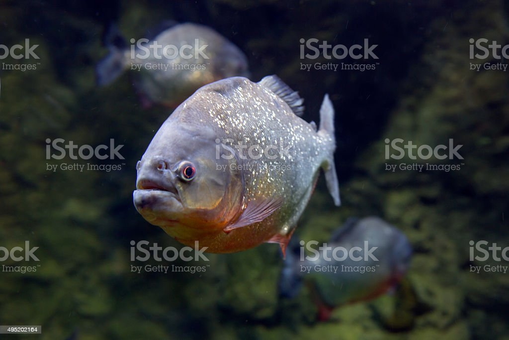 Piranha Fish . stock photo