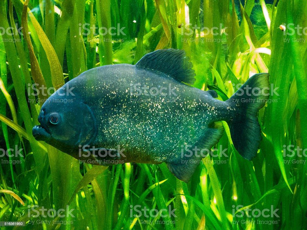 Piranha Fish stock photo