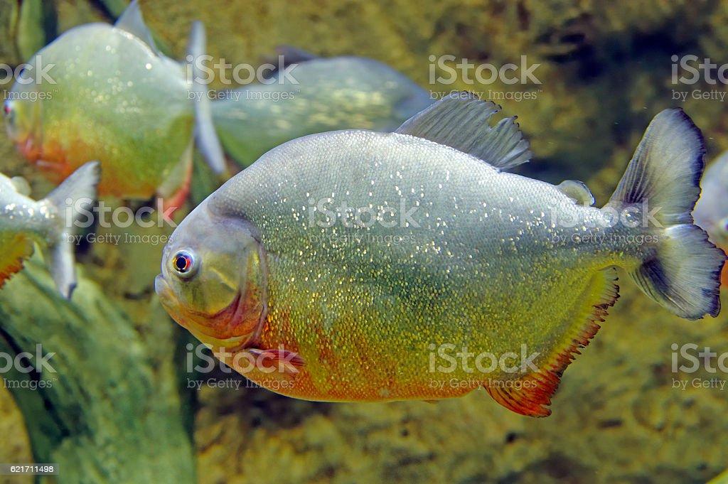 piranha fish underwater stock photo