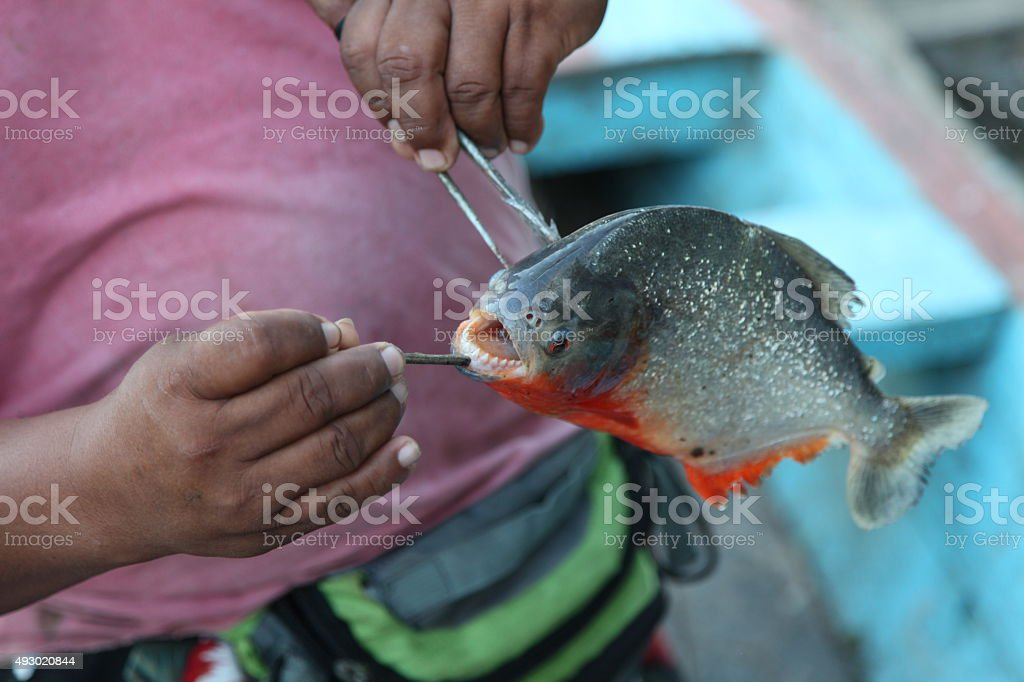 Piranha fish with its mouth open stock photo
