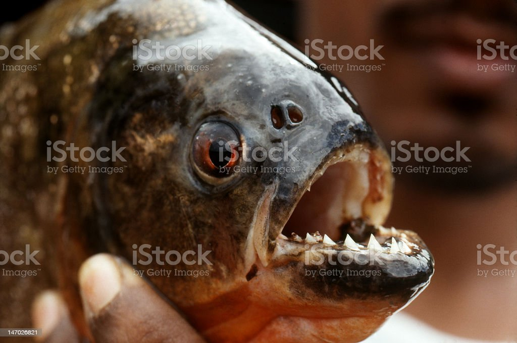Piranha in Peruvian Amazon stock photo