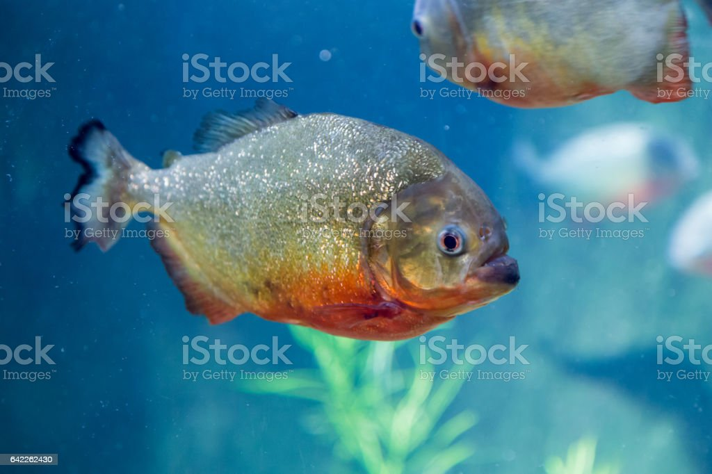 Piranha in the aquarium. Pygocentrus nattereri. Serrasalminae. Characidae. Serrasalmidae. Serrasalmus nattereri stock photo