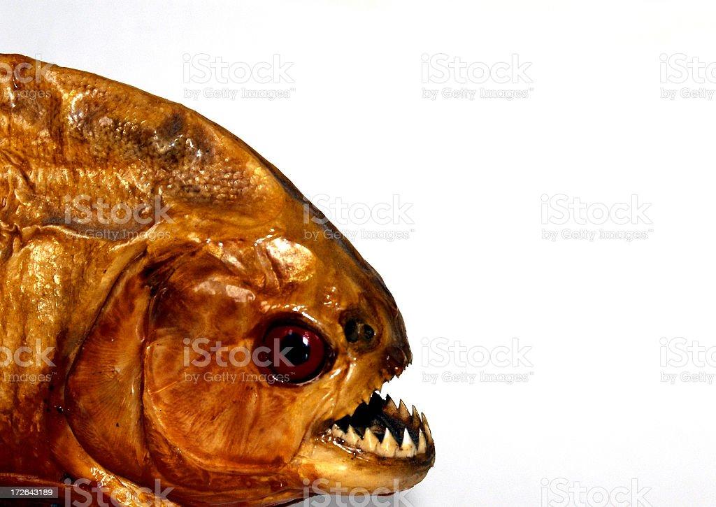 Piranha royalty-free stock photo
